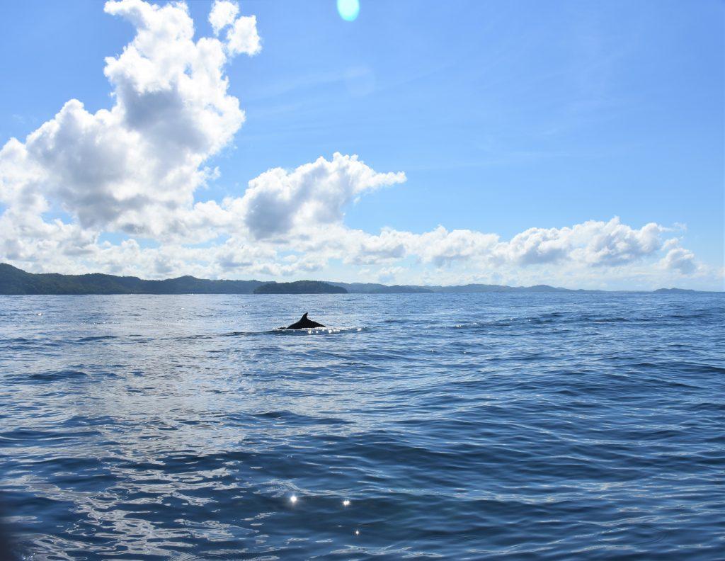 Delfine beim Schnorcheln auf der Isla Coiba