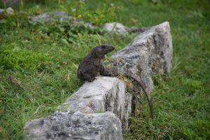 Leguan Ruinen von Tulum