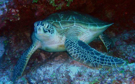 Schildkröte beim Schnorcheln auf der Isla Coiba