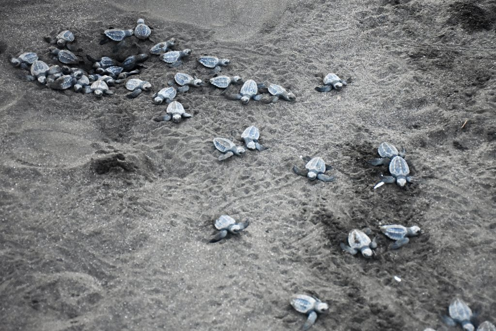 Turtles Playa Ostinal