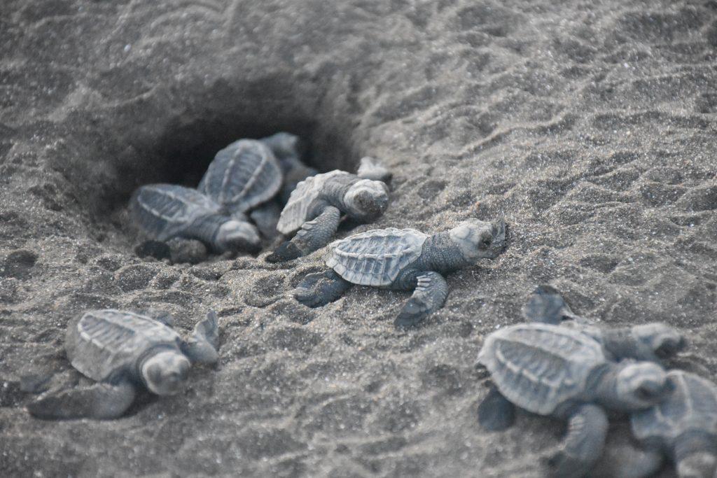 Turtle Hedging Nicoya