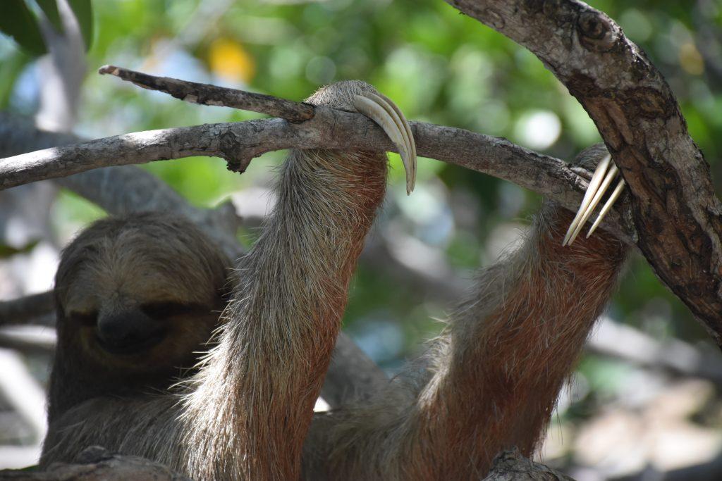 sloth klauen