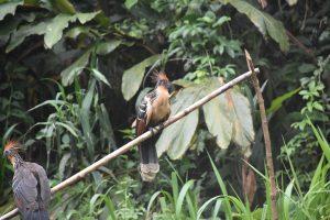 Vogel Parque Nacional Manu