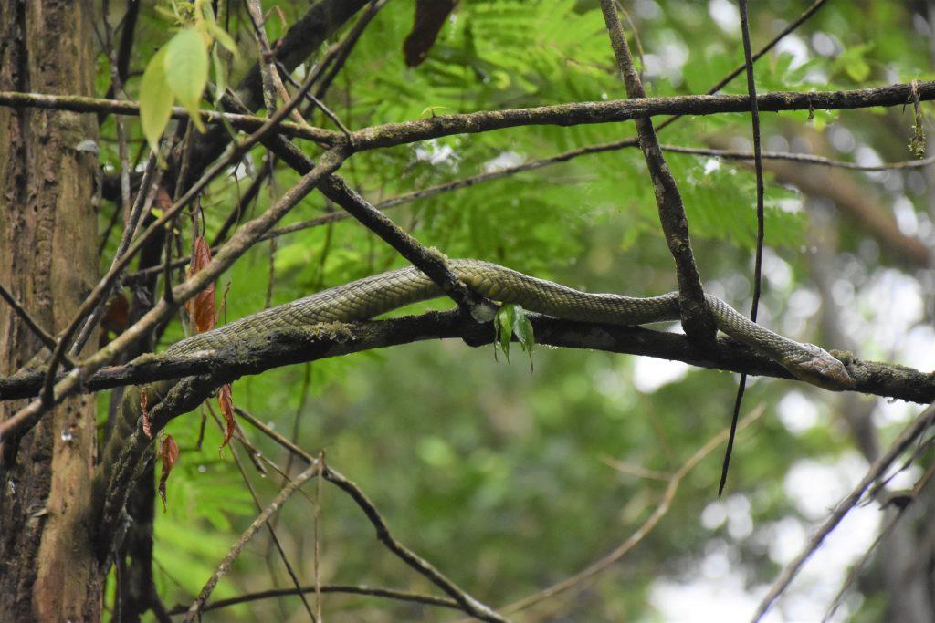 Parque Nacional Manu Würgeschlange