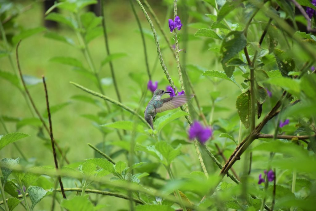Kolibri Parque Nacional Manu