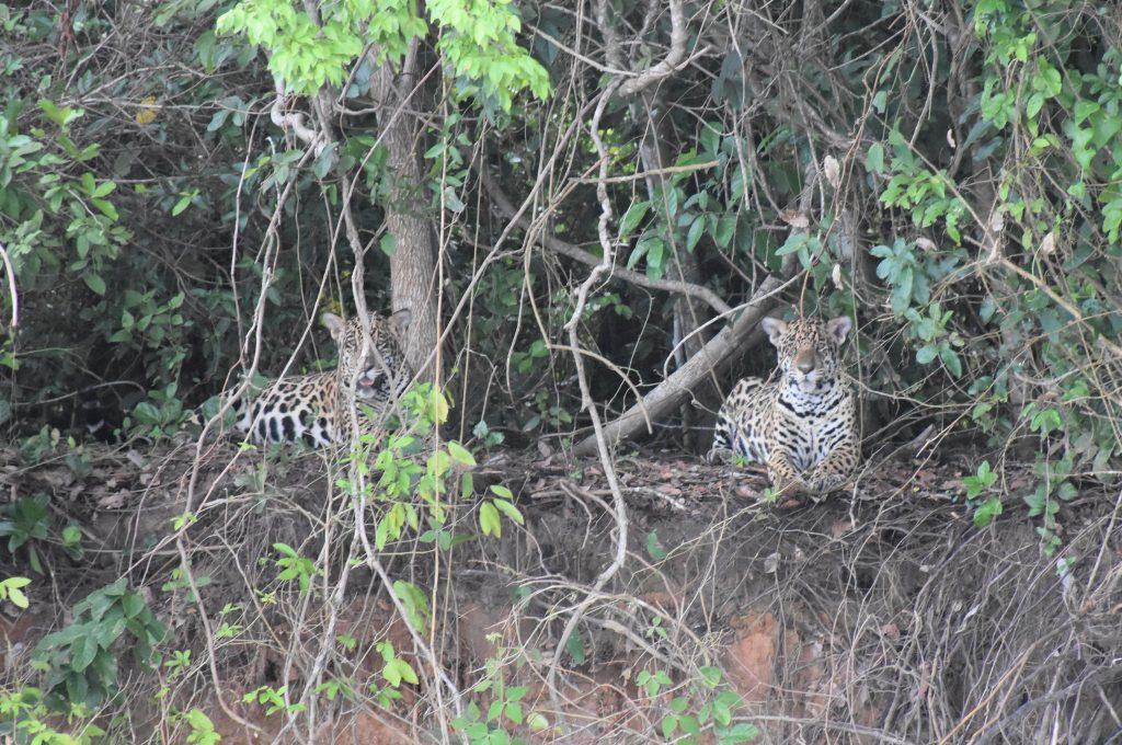 2 Jaguare schauen in Kamera