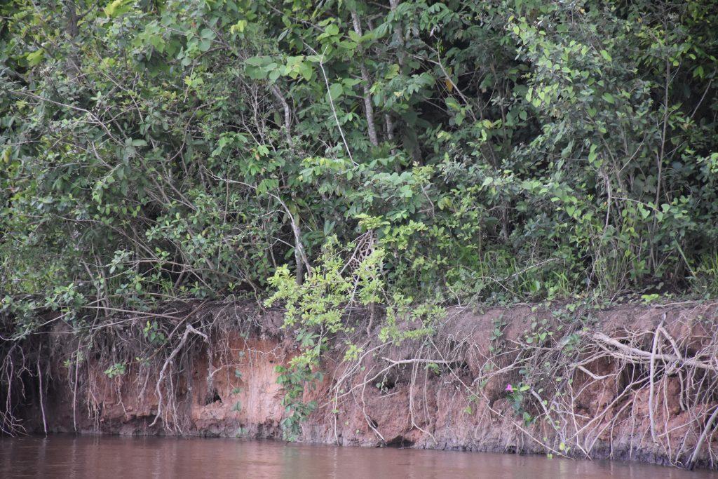 Jaguar Tarnung