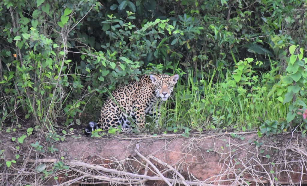 Jaguar lauert
