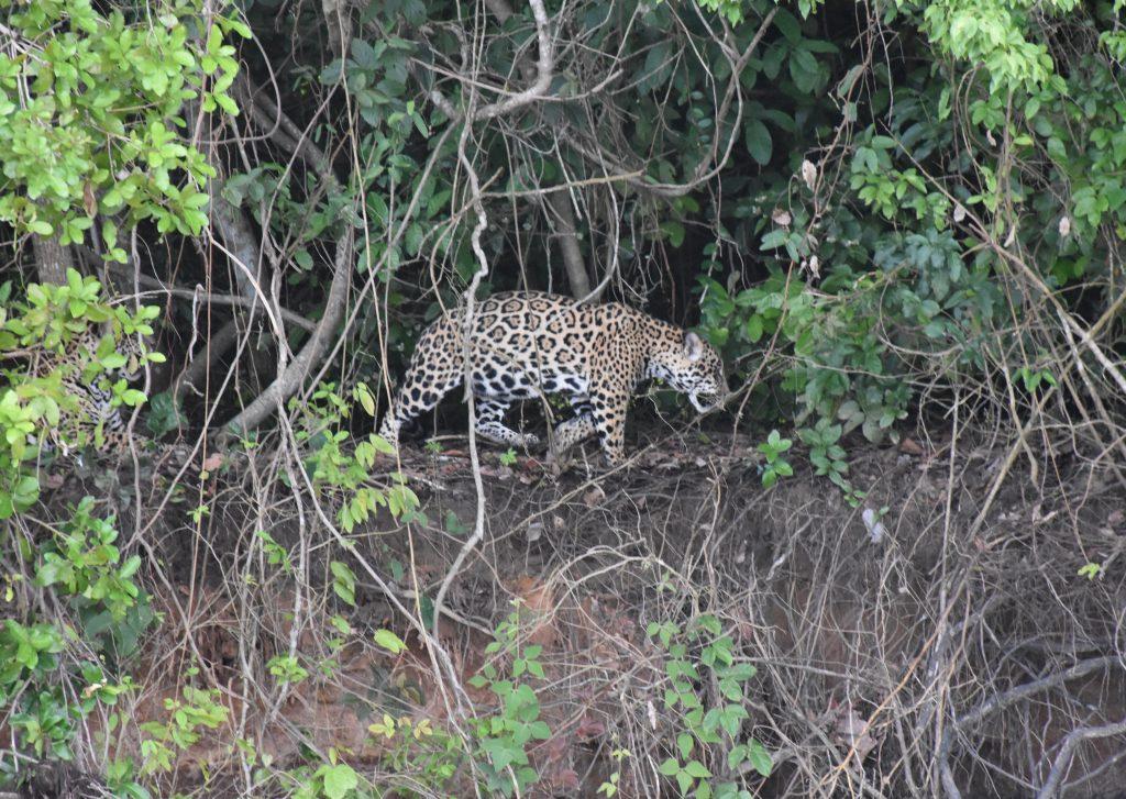 Jaguar verschwindet