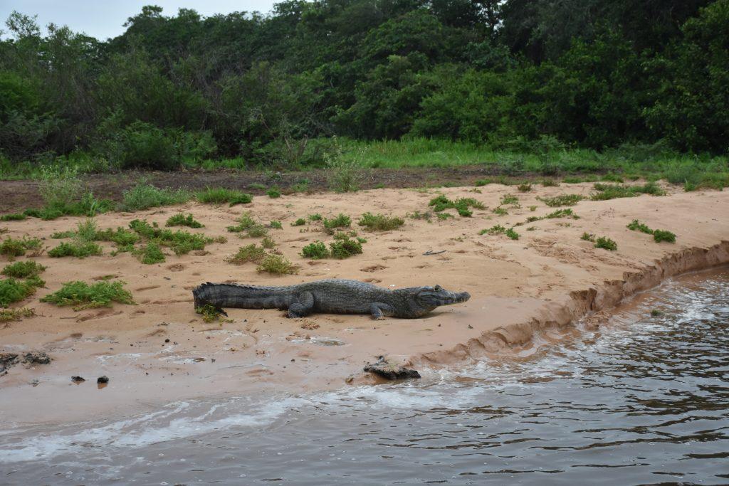 Kaiman auf Sandbank