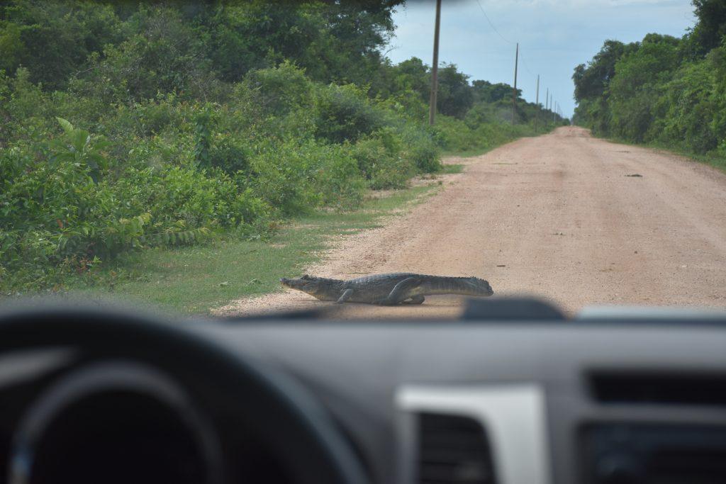 Kaiman auf Straße