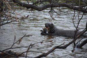 Riesenotter frisst Fisch