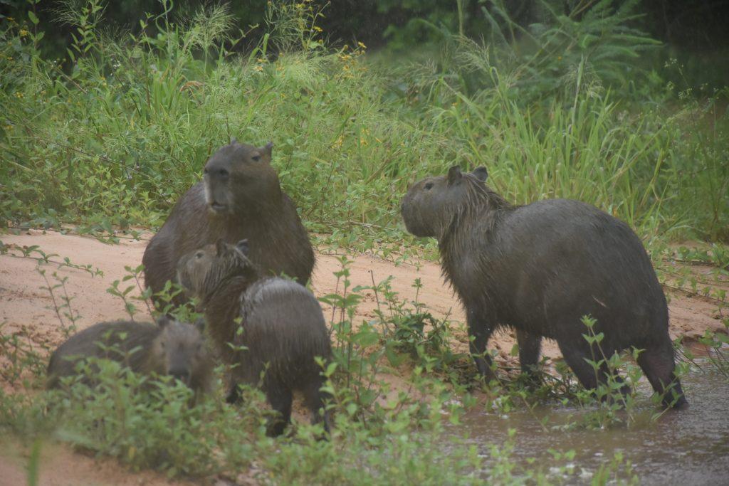 Wasserschweinfamilie