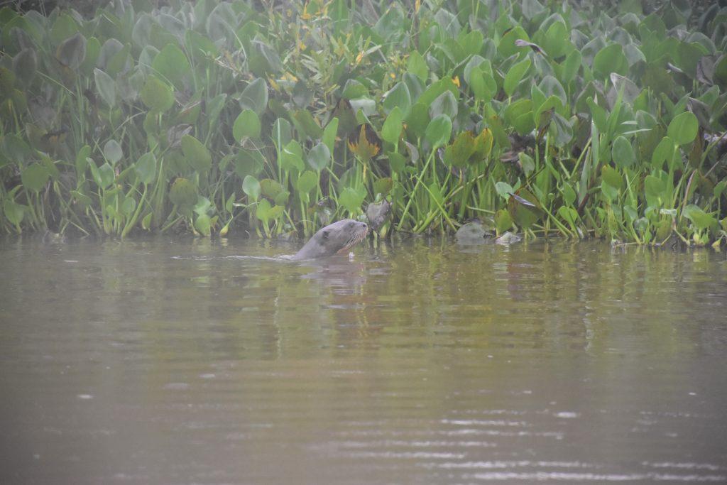 zwei Riesenotter Pantanal Tour