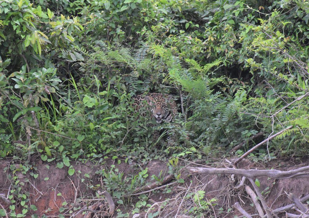 zweiter Jaguar