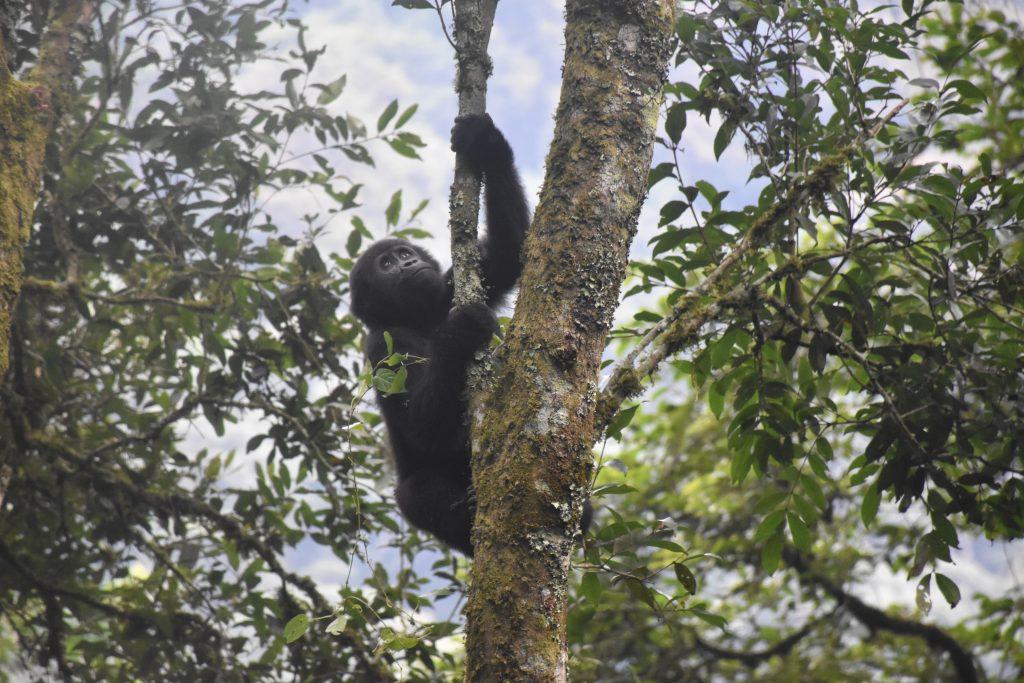 Gorilla Trekking Uganda Jungtier klettert