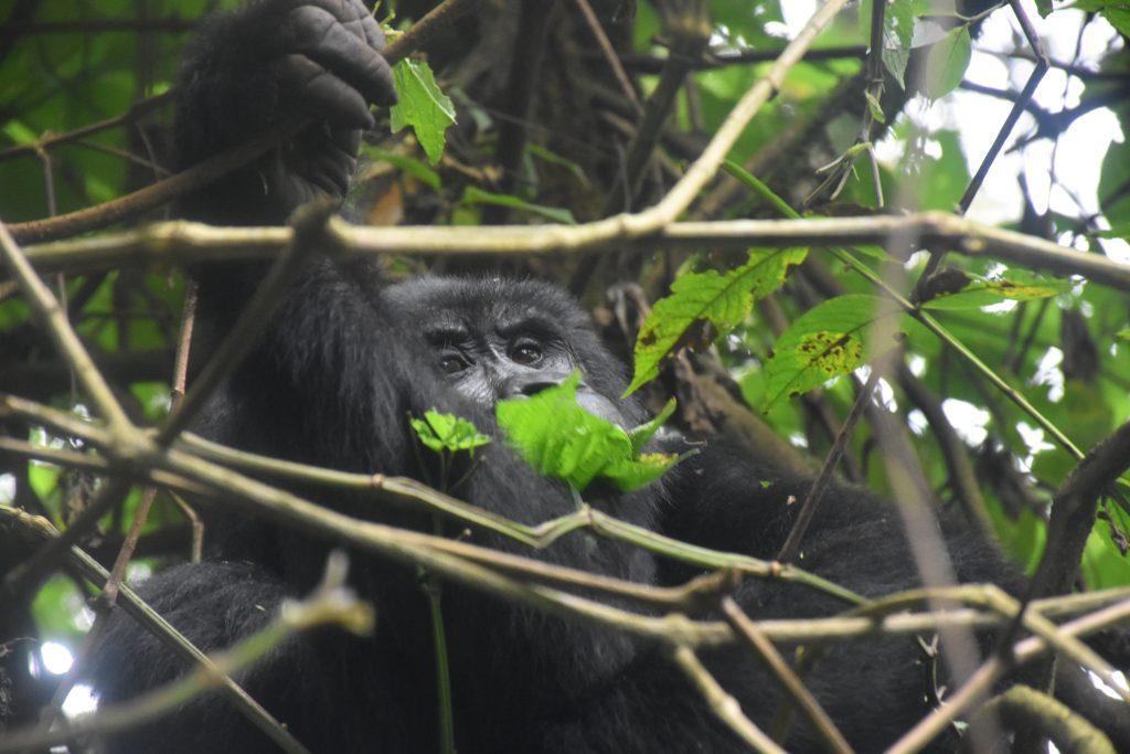 erster Gorilla
