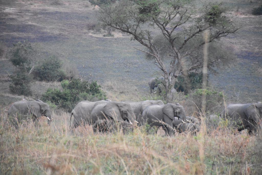 Elefantenherde Murchison Falls National Park erster Abend
