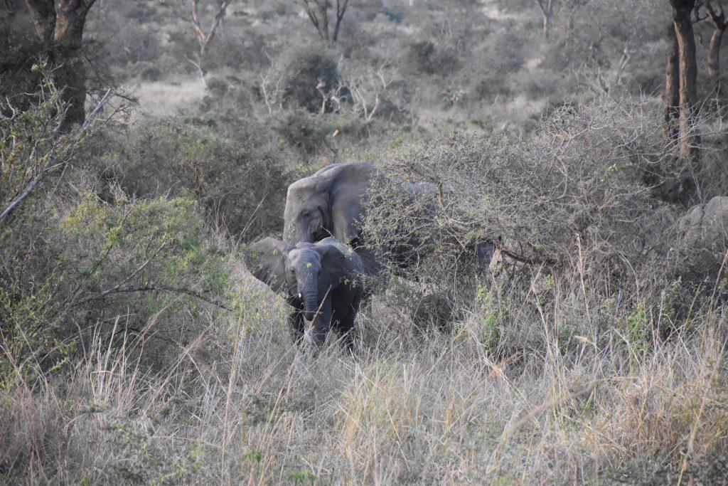 Elefantenherde mit Jungen