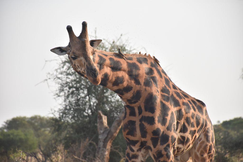 Giraffe mit Vögeln