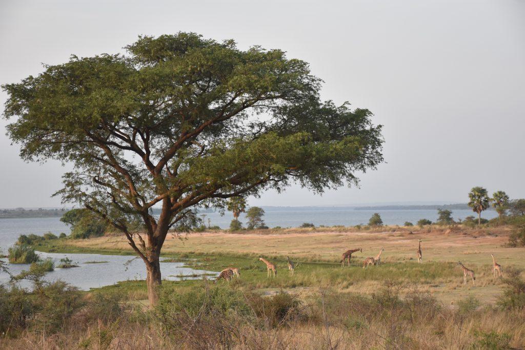 Giraffen trinken