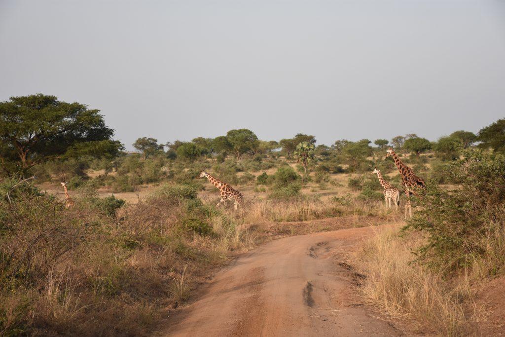 Karawane Giraffen