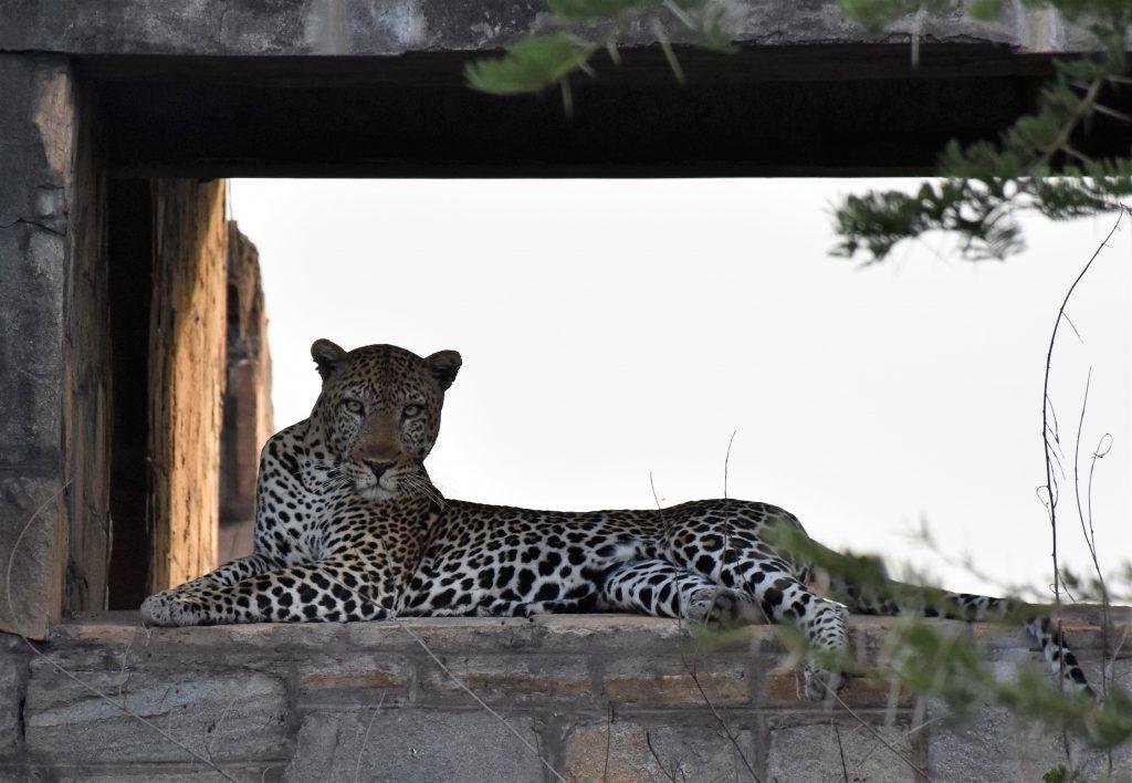 Leopard Front