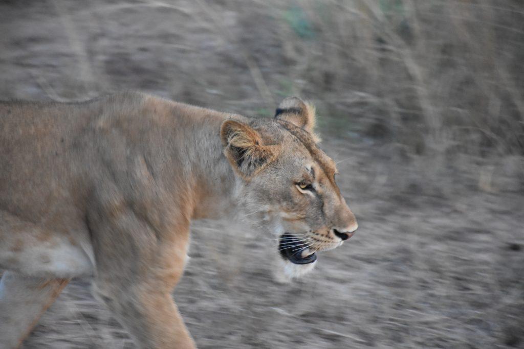nahe Löwin