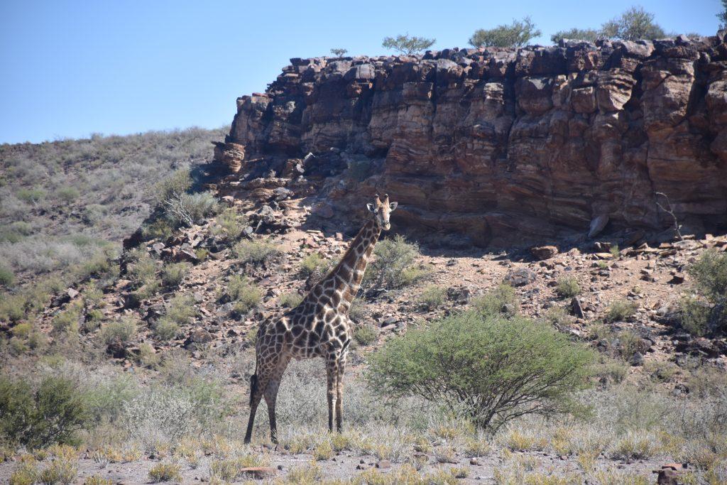 Giraffe Hardap