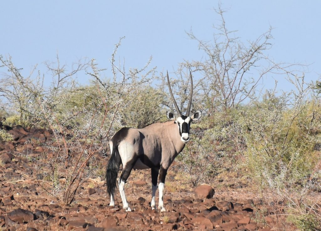 Oryx Hardap