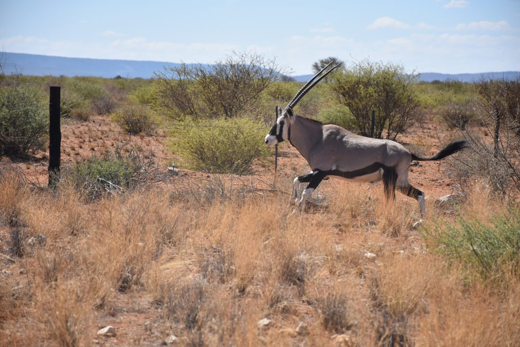 Oryx unterwegs