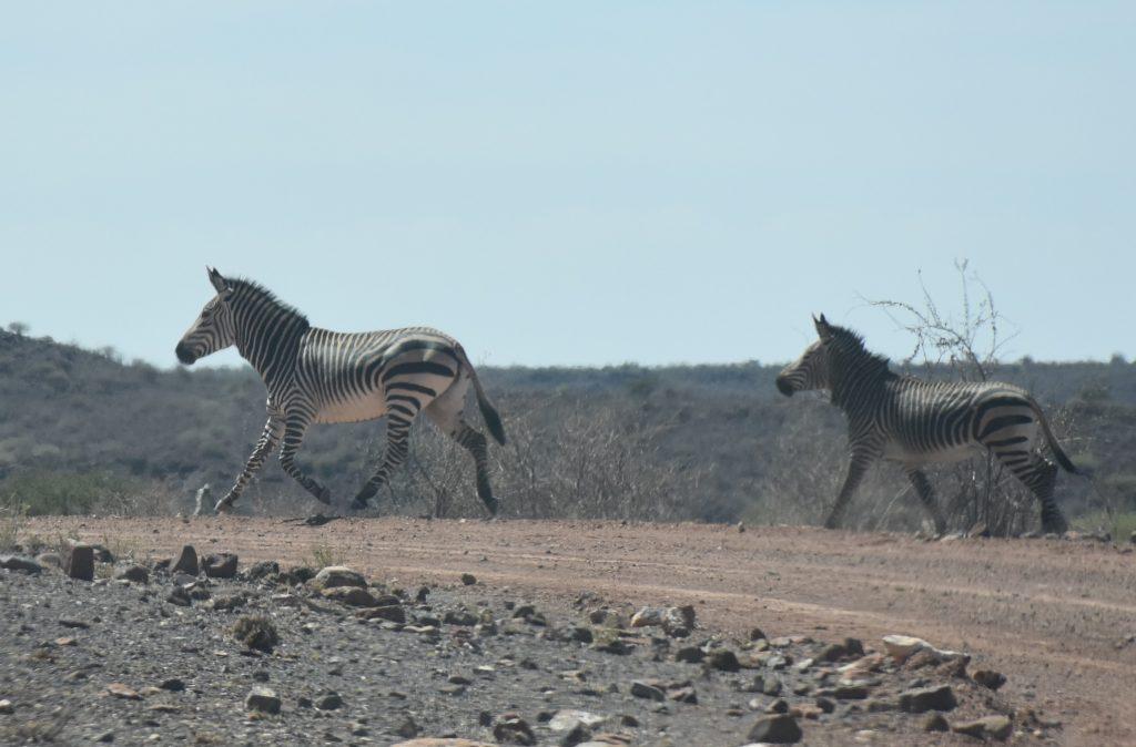 Zebras Hardap