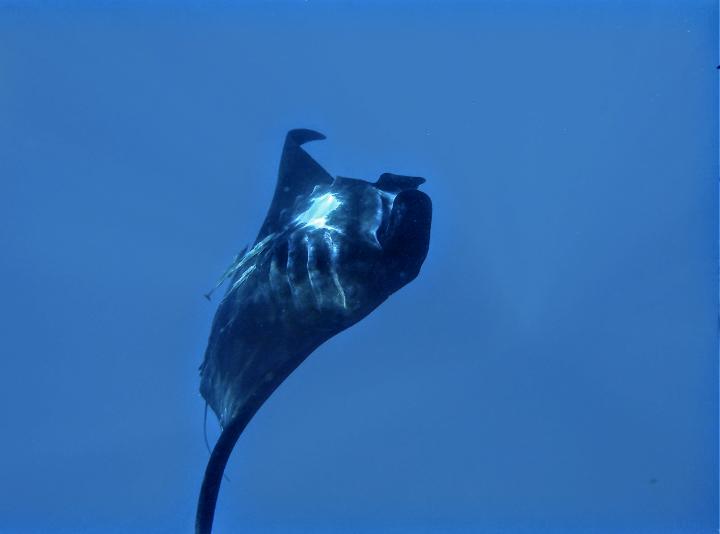 Schnorcheln mit Mantas Fiji