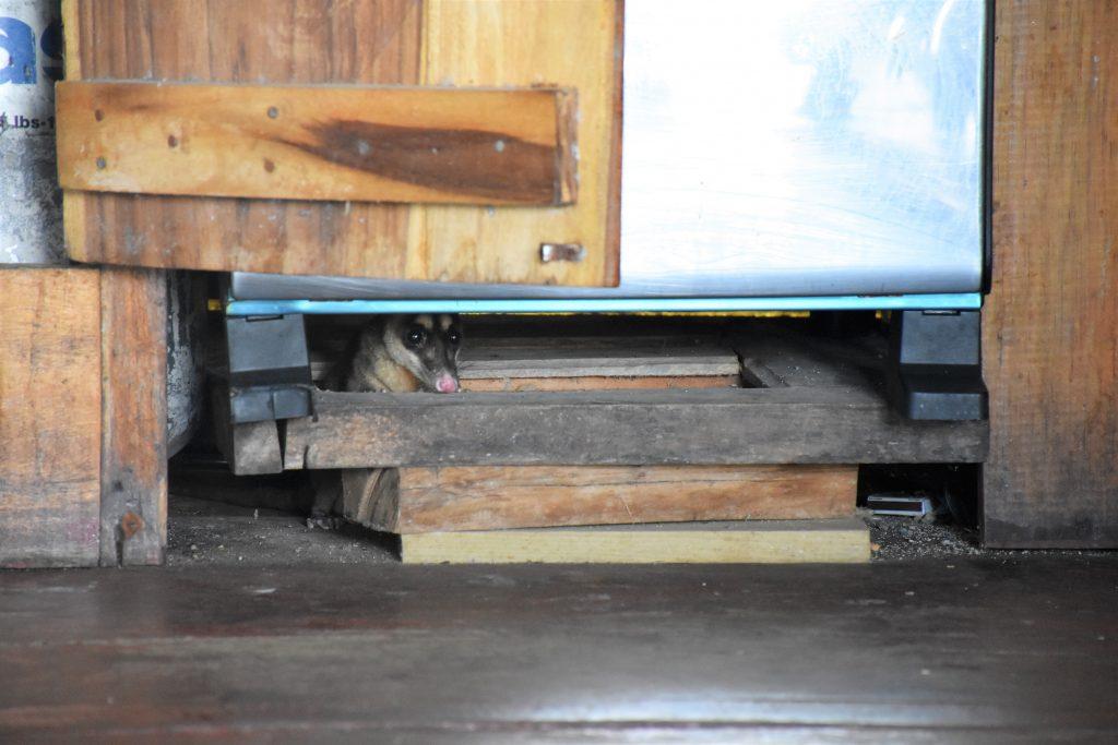 Opossum auf Weltreise: Scheu lugt es unter dem Ofen vor