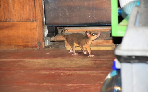 Weltreise: Das Opossum wagt sich langsam vor