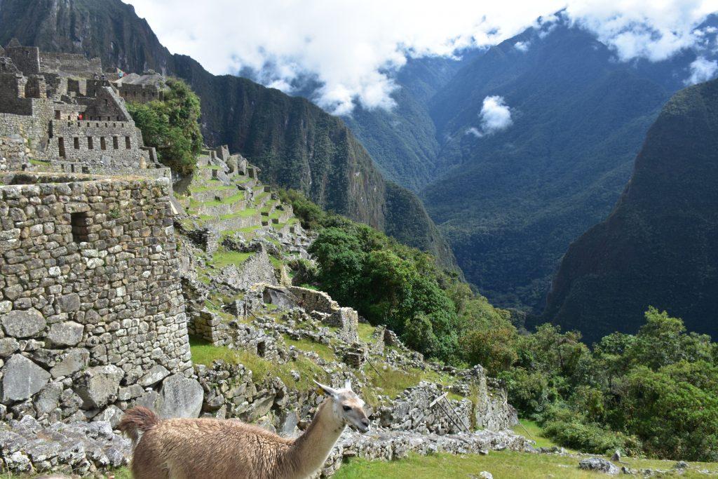 Lama auf Terrasse