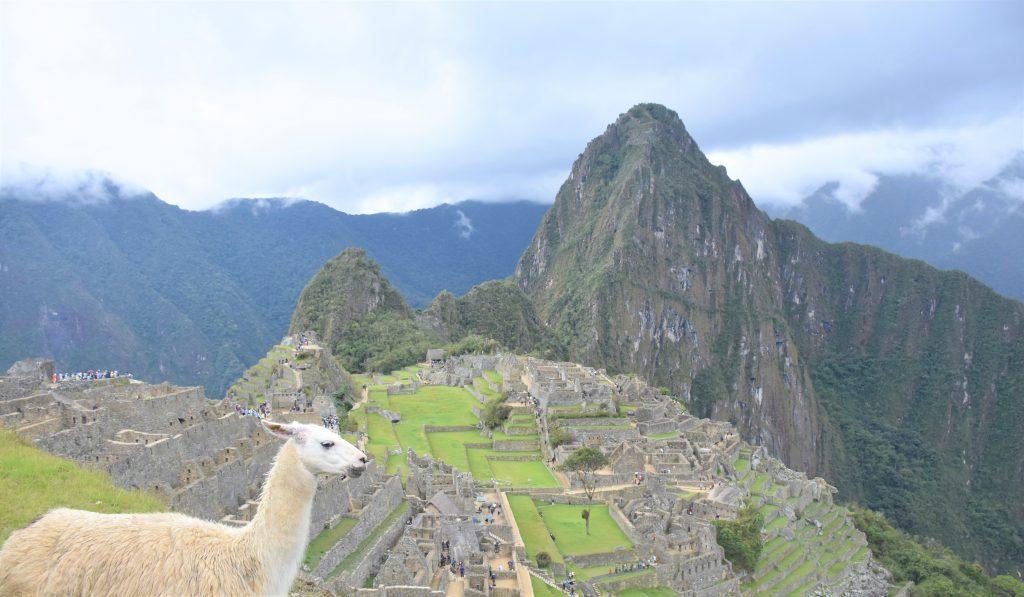 Lama blickt auf Machu Picchu