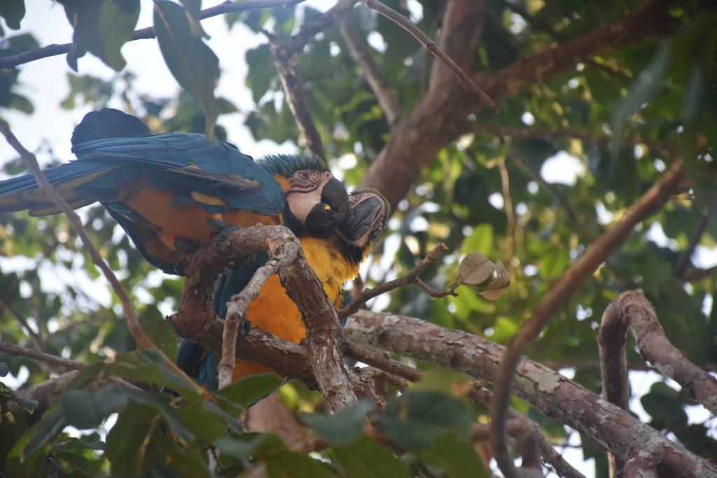 Amazonas Tour Papageien schnäbeln