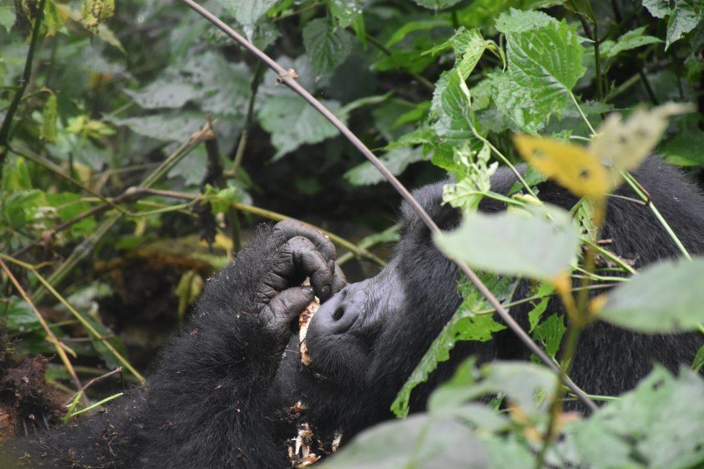 Gorilla isst Wurzel