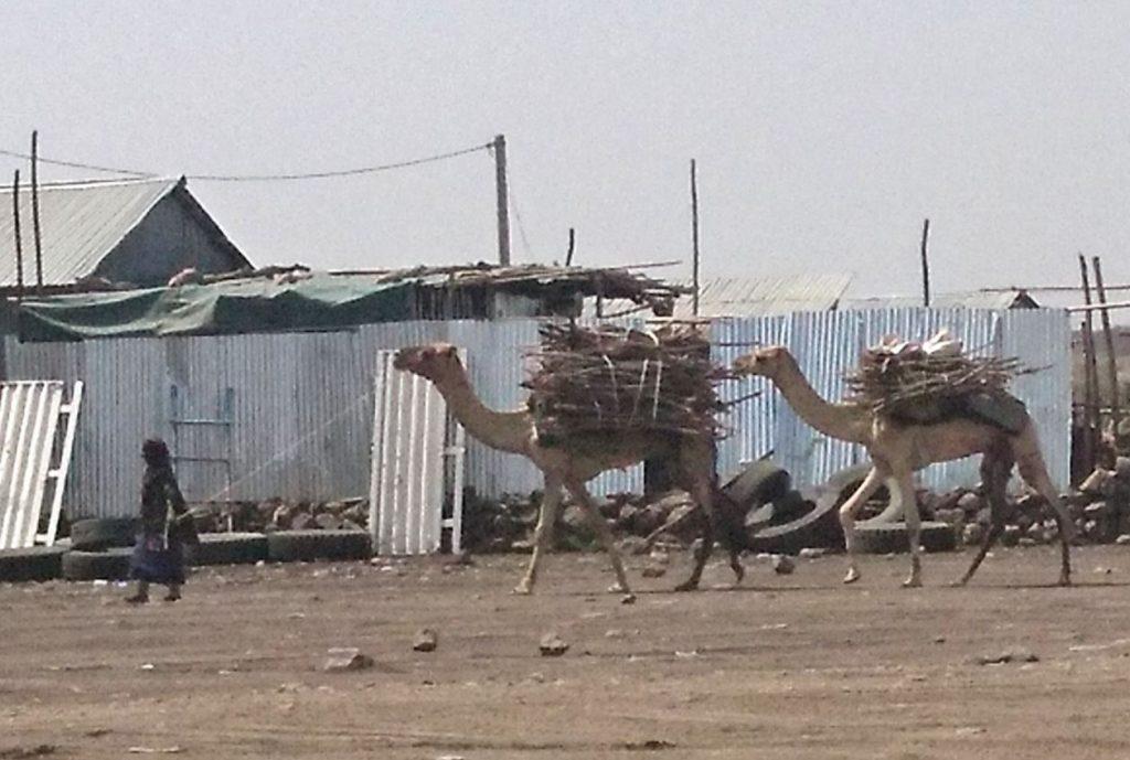 Dromedare Addis