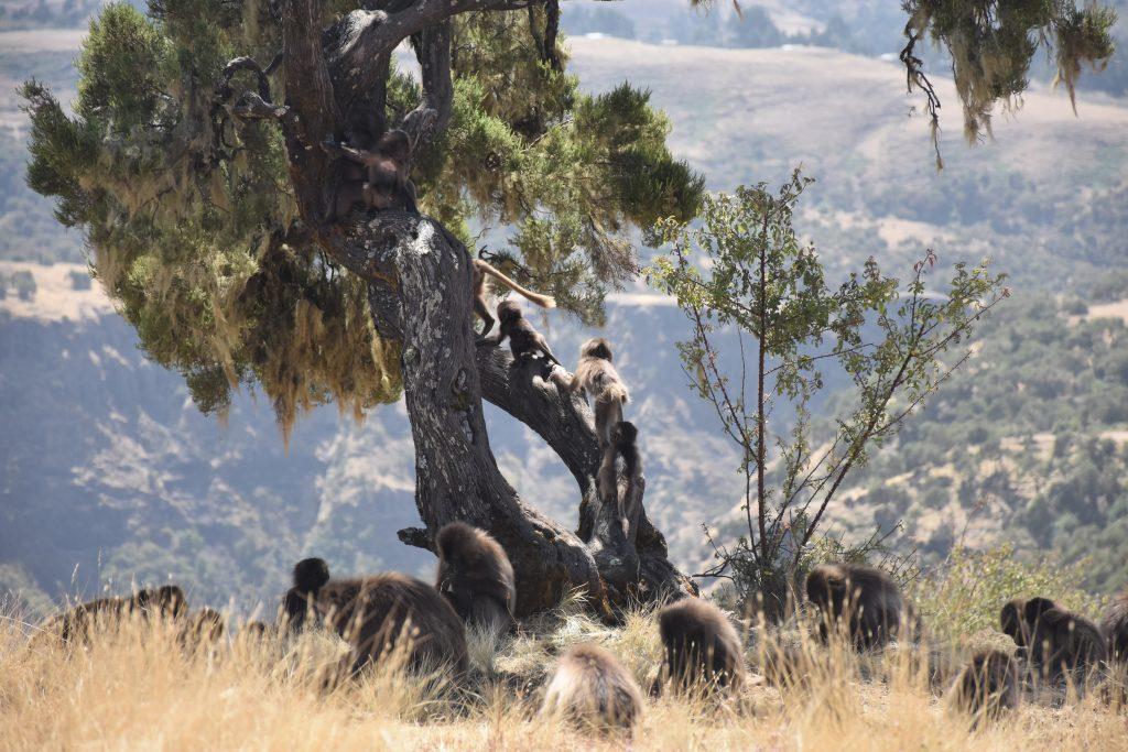 Jungtiere im Baum Simien Mountains National Park