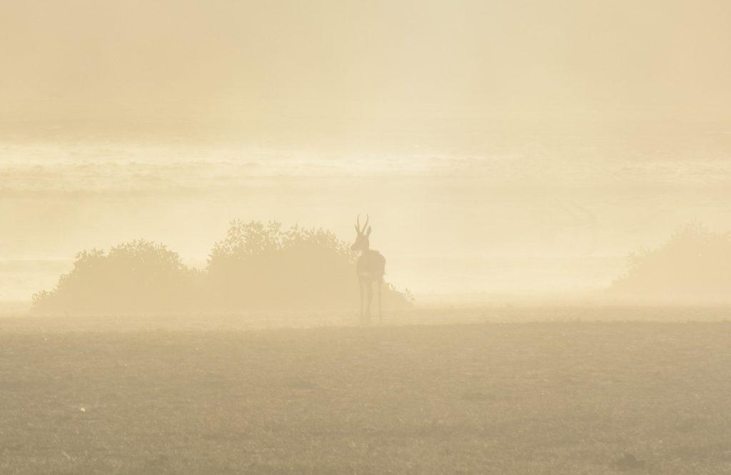 Springbock im Nebel