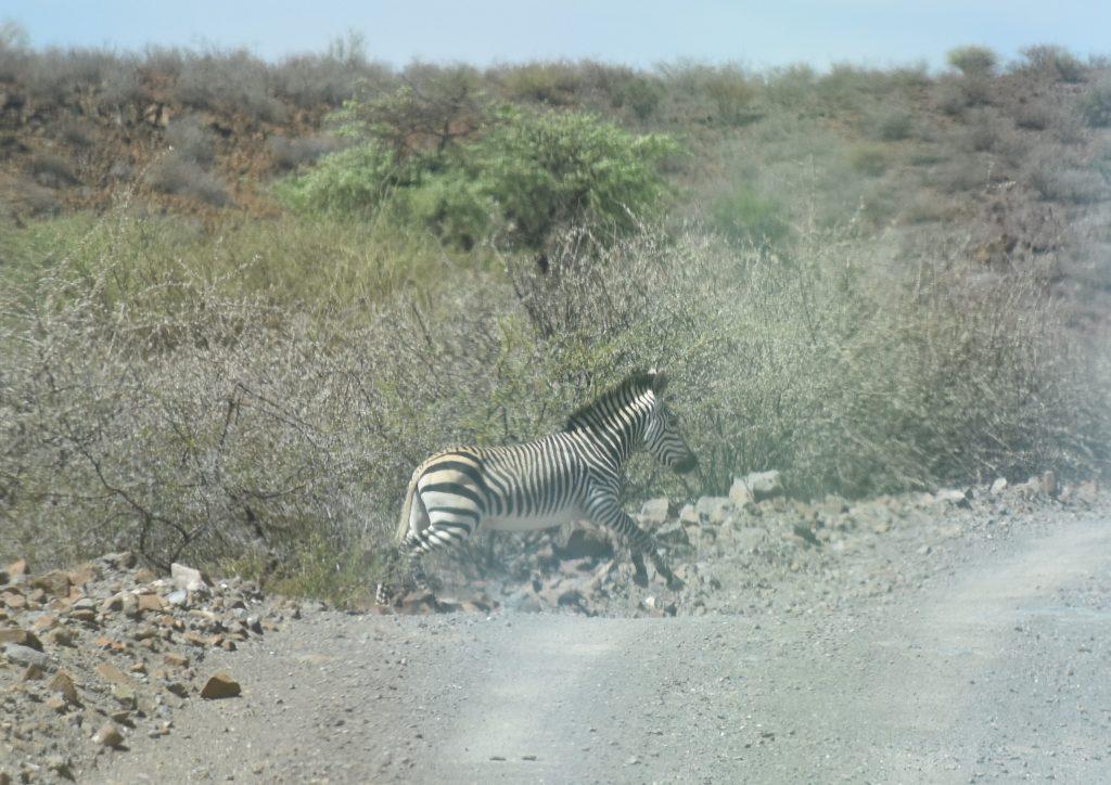 Zebra Hardap Galopp